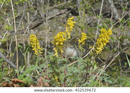 A close up of the yellow flowers birthwort (Corydalis). Early spring. - stock photo