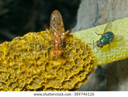 A close up of the yellow fly on very fetid mushroom. - stock photo