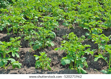 A close up of the young plants of potato.