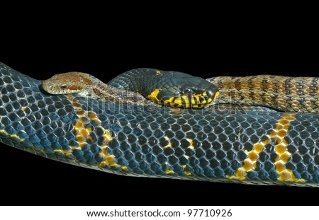 A close up of two snakes (Elaphe schrenckii and  Elaphe dione). Isolated on black.