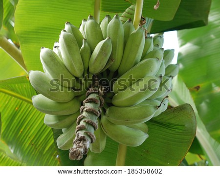 A close up of unripe bananas in the jungle