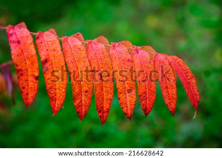 A close up of vibrant orange leaves on a branch of a sumac plant during the autumn season.    - stock photo