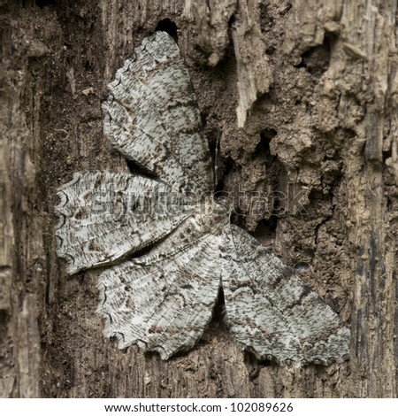 A close up on a brown moth mimicking dead tree