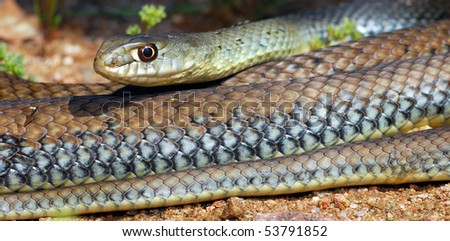 A close up on the scales of the common Montpellier snake. - stock photo