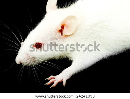 a close-up photo of a white rat with red eyes