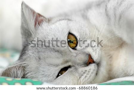 A close-up photo of sleeping british short-hair cat - stock photo