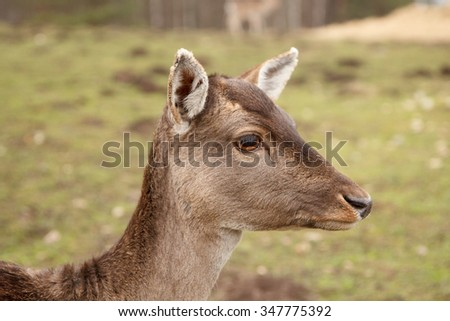 A close-up picture of a wild doe in a meadow