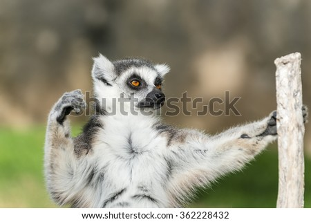 A close-up portrait of ring-tailed lemur (catta). Madagascar.  - stock photo