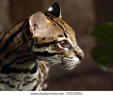 A close-up profile of an ocelot (leopardus pardalis) - stock photo