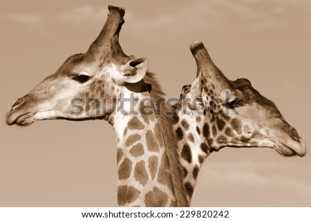 A close up sepia tone image of a 'two headed giraffe' in South Africa - stock photo