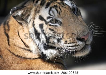 A close up shot of a Bengal Tiger - stock photo