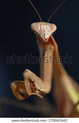 A close up shot of a Chinese Mantis, a non-native species found in Missouri. - stock photo