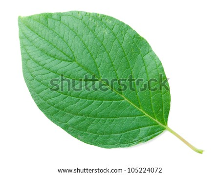 A close up shot of a Common Dogwood leaf - stock photo