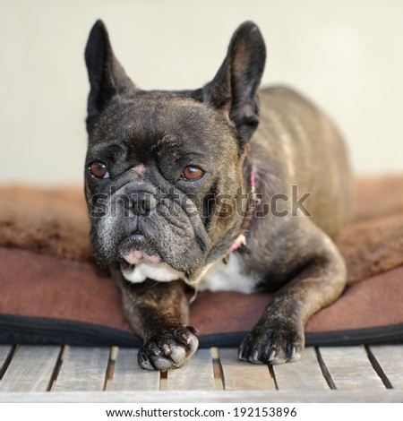 A close up shot of a french bulldog - stock photo