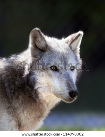 A close up shot of a Gray Wolf (Canis lupus). - stock photo