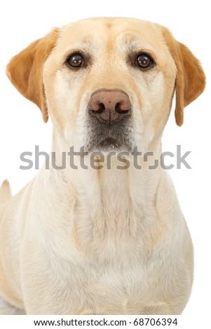A Close-up shot of a Labrador retriever dog isolated on white - stock photo