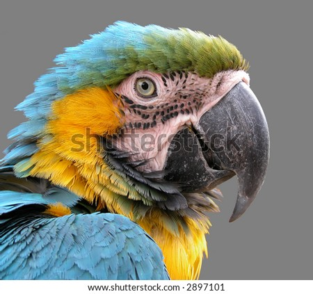 a close-up shot of macaw isolated on grey - stock photo