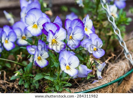 A close-up shot of some blue viola blooms in a hanging basket. - stock photo