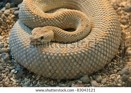A close-up shot snake python, curled up in the ring - stock photo
