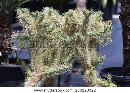 A close up view of a Cholla cactus being grown in a container.   - stock photo