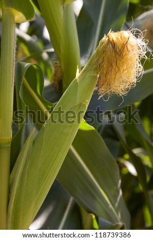 A close up view of a corn stalk growing in a field before harvesting. - stock photo