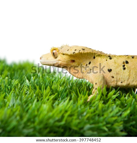 A close up view of a crested gecko standing on some fake grass