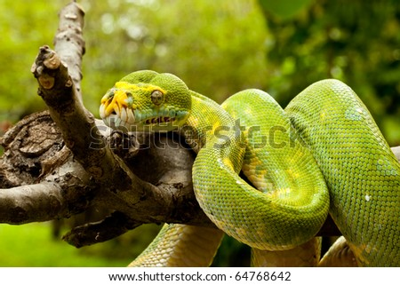A close-up view of a green tree python slithering on a tree. - stock photo