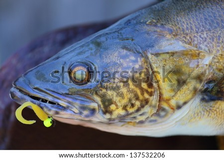 A close up view of a mounted walleye fish with lure in his mouth - stock photo