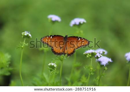 A close up view of a Queen butterfly sitting on a purple gregs mist flower plant.  - stock photo