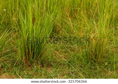 A close-up view of green and yellow grasses on the African Savannah. - stock photo