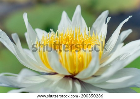 A close-up white water lily - stock photo