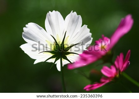 A close view of a white flower with spread petals and bright yellow center. - stock photo