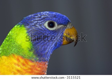 A close view of the head of a young Australian Rainbow Lorikeet. - stock photo