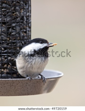 A closeup image of a Black-cap Chickadee feeding on a Sunflower seed.