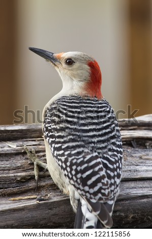 A closeup image of a Red-bellied Woodpecker perched on a log. - stock photo