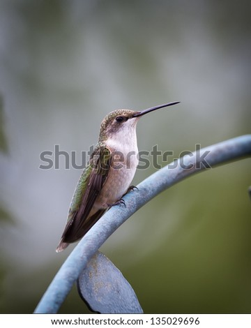 A closeup image of a Ruby-throated Hummingbird perched on a metal rod.