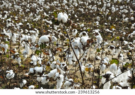 A Closeup Look at a Cotton Boll in the Field