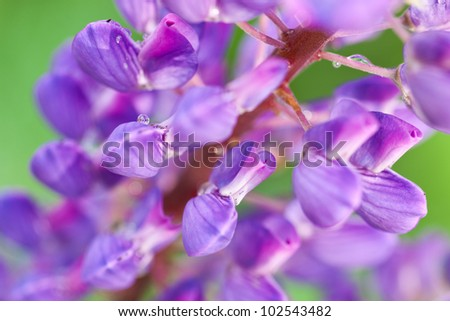 A closeup macro shot of vibrant purple Lupine flowers (Lupinus sp.) with morning dew droplets - stock photo