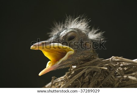 A closeup of a baby robin in a nest with mouth open waiting on the Mother bird to feed him,  horizontal with copy space, shallow depth of field - stock photo