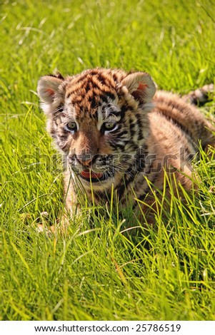 A closeup of a baby tiger playing in the grass - stock photo