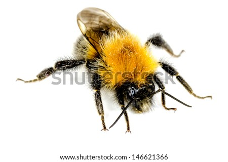 A closeup of a Bumblebee on a white background