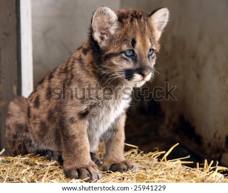A closeup of a cougar cub with blue eyes - stock photo