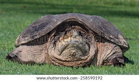A Closeup of a Large Snapping Turtle (Chelydra Serpentina) - stock photo