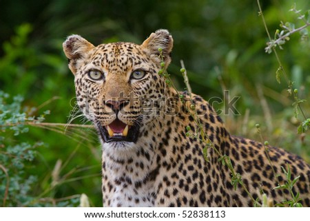 A closeup of a leopard female in lush vegetation