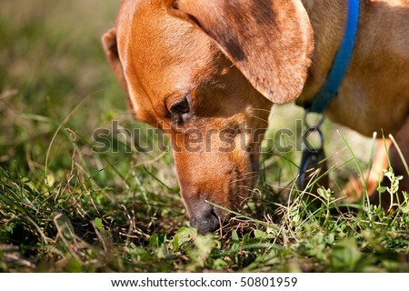 A closeup of a miniature Dachshund sniffing in the grass. - stock photo