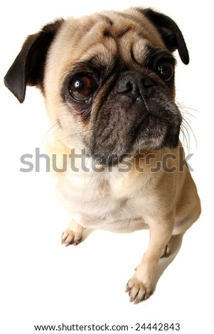 A closeup of a pug isolated on white
