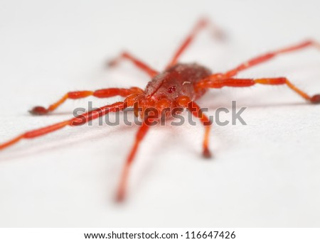 a closeup of a red mite on a white surface - stock photo