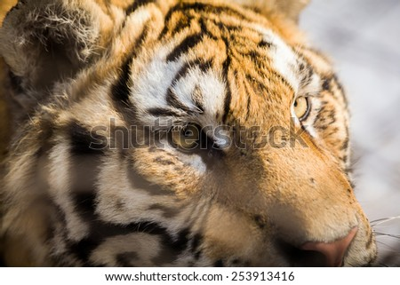 A closeup of a Siberian tiger's face at  Harbin China - stock photo