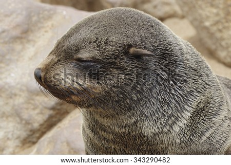 A closeup of a sleepy looking juvenile south African fur seal. Awfully cute. - stock photo