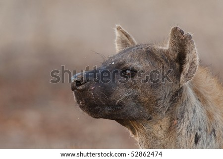 A closeup of a spotted hyena face photographed in the south africa's kruger national park
